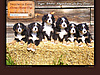 Sweetwater Farms Bernese Mountain Dogs